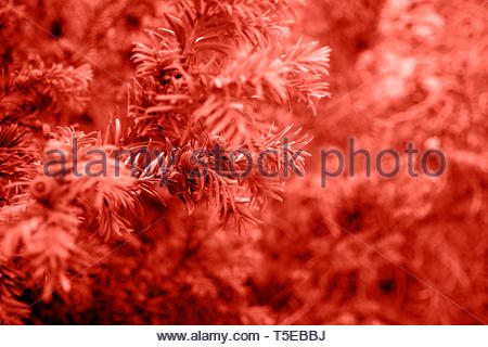 Coral color branches of yew tree with berries (Taxus baccata, English yew, European yew). Coniferous.Trendy color. - Stock Photo