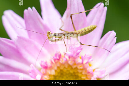 Macro shot of a young praying mantis on a pink flower - Stock Photo