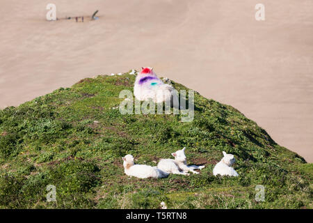 View over the beach at Rhossili Bay with lambs basking in the afternoon sunshine, Rhossili, Gower Peninsula, Swansea, West Glamorgan, Wales, UK - Stock Photo