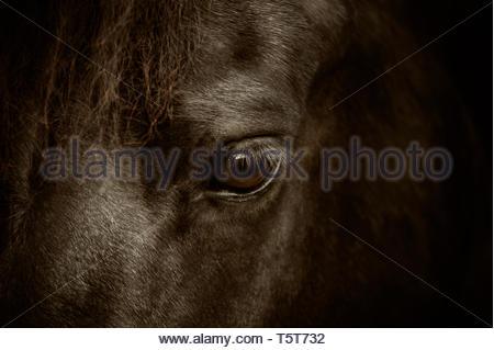 Friesenpferd, Pferdeauge, Großaufnahme - Stock Photo