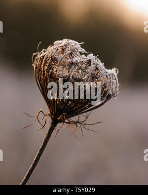 Macro image of a beautiful withered hemlock flower in winter covered with little icy crystals and hit by early morning light - Stock Photo