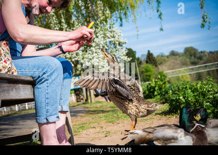A female Mallard duck (Anas platyrhynchos) jumping up to take a piece of dried fruit from a woman's hand. River Severn, Upper Arley, Worcestershire UK - Stock Photo