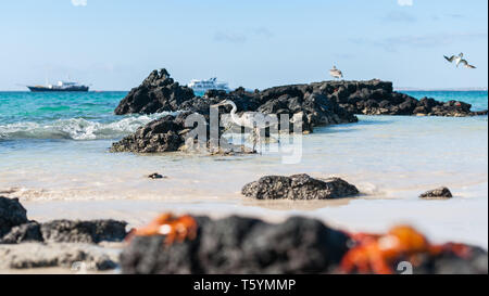 Focus on giant Blue heron wading on rocky shore in Galapagos Islands with tourist boats on horizon in selective focus. - Stock Photo