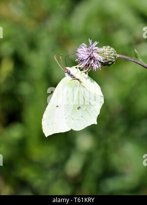 Common brimstone butterfly Gonepteryx rhamni sitting on a flower - Stock Photo