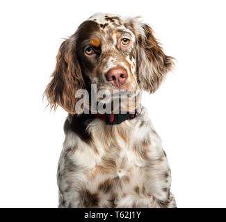 English Setter, 6 months old, in front of white background - Stock Photo