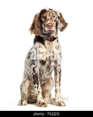 English Setter, 6 months old, sitting in front of white background - Stock Photo