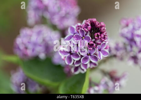 Close up of Syringa Vulgaris Sensation, better known as lilac. Pink flowerheads with white border. Captured in Bavaria, Germany. - Stock Photo