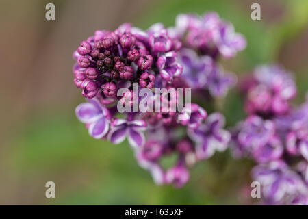 Close up of Syringa Vulgaris Sensation, better known as lilac. Purple closed buds. Captured in Bavaria, Germany. - Stock Photo