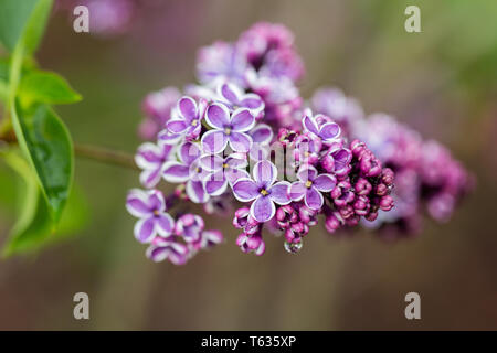 Close up of Syringa Vulgaris Sensation, better known as lilac. Pink flowerheads with white border. - Stock Photo