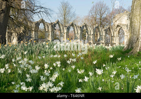 Daffodils and St Marys Abbey in the Museum Gardens in spring York North Yorkshire England UK United Kingdom GB Great Britain - Stock Photo