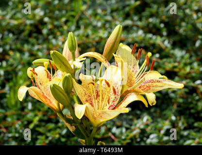 yellow lily in bloom - Stock Photo