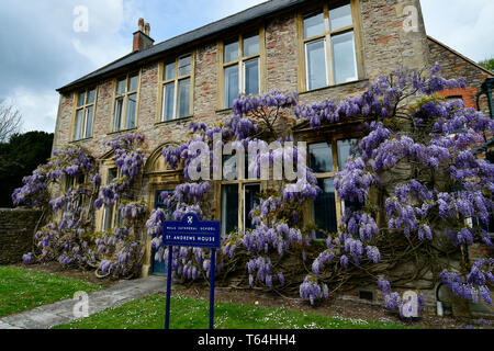 Bristol, UK. 29th Apr, 2019. On a warm morning last few days of April 2019, wisteria in full bloom is seen on Wells Cathedral School St Andrews House.Picture Credit: Robert Timoney/Alamy Live News - Stock Photo