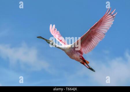 Roseate Spoonbill, Platalea ajaja, adult in flight  Florida  April - Stock Photo