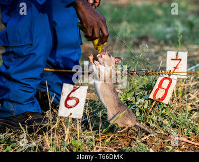 A landmine detection rat is rewarded with a banana after successfully identifying a mine in Tanzania - Stock Photo