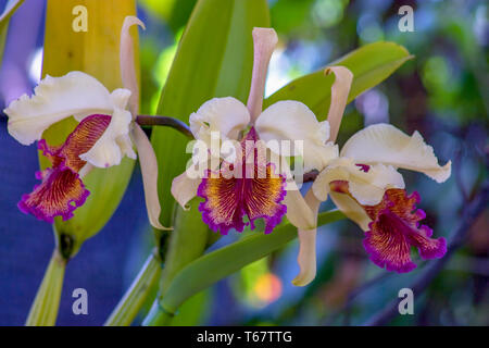 Close-up photography of three pink and red cattleya orchids.  Captured at the Andean mountains of central Colombia. - Stock Photo