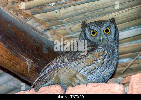 A beautiful tropical screech-owl stading under the roof of a rustic house. Captured at the Andean mountains of central Colombia. - Stock Photo