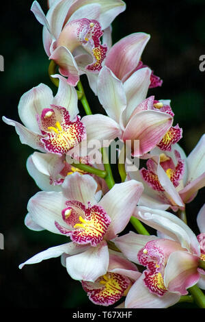 Close-up photography of a bouquet of white dendrobium orchid flowers.  Captured at the Andean mountains of central Colombia. - Stock Photo