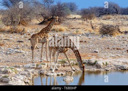 Giraffa camelopardalis drinking from waterhole in Etosha national Park - Stock Photo