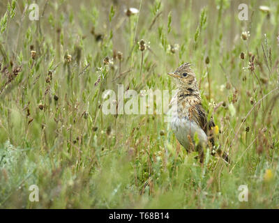 Crested Lark, Galerida cristata, Bulgaria, Europe - Stock Photo