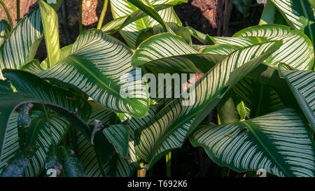 The beautiful striped leaves of the exotic pin-stripe calathea plant. Captured at the Andean mountains of sothern Colombia. - Stock Photo