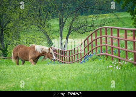 Belgian Draft Horse grazing by a fence on green Texas bluebonnet and wildflower pasture in the spring. - Stock Photo