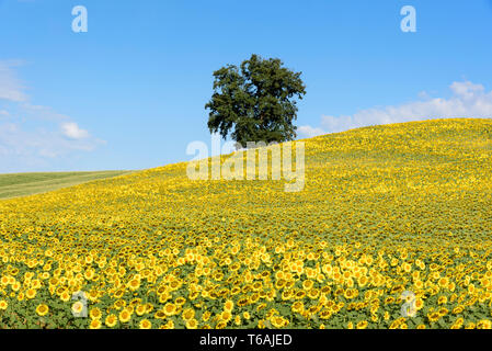 Field of sunflowers (Helianthus annuus) in the Gers (Gascony), Occitanie, Southwest France, Europe - Stock Photo