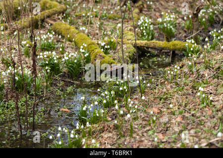 early spring snowflake flowers in forest - Stock Photo