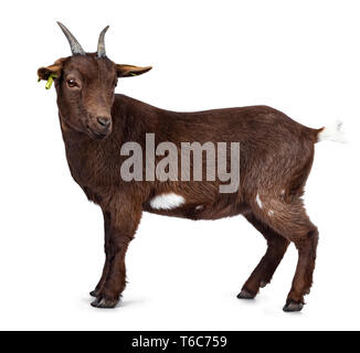 Cute dark brown pygmy goat, standing side ways. Looking beside camera with head turned. Isolated on white background. - Stock Photo