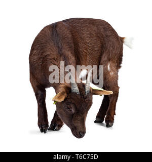 Cute dark brown pygmy goat, standing side ways.  Looking down with head down like eating / looking for food. Isolated on white background. - Stock Photo