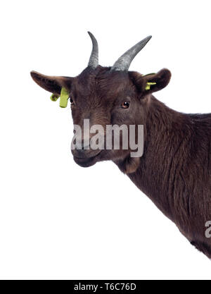 Head shot of cute dark brown pygmy goat, standing side ways.  Looking at camera. Isolated on white background. - Stock Photo