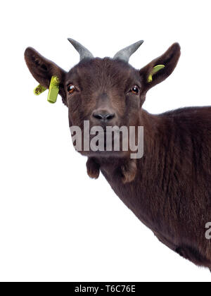 Head shot of cute dark brown pygmy goat, standing side ways.  Looking at camera. Isolated on white background. Front view of head, showing both eyes. - Stock Photo