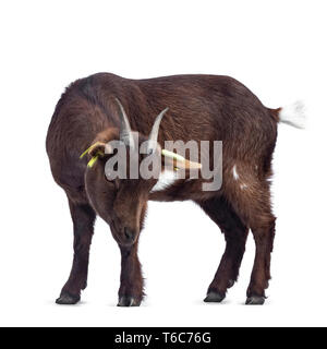 Cute dark brown pygmy goat, standing side ways.  Looking down with head down. Isolated on white background. - Stock Photo