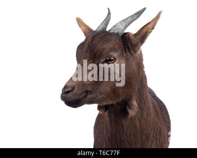 Head shot of cute dark brown pygmy goat, standing facing front, head turned to the side  Looking beside camera. Isolated on white background. - Stock Photo