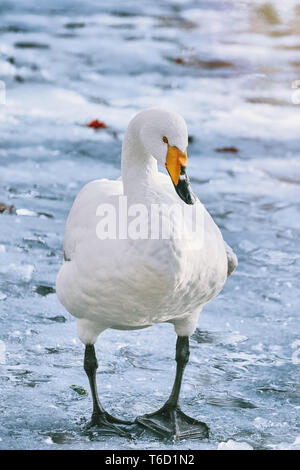 Swan on Ice - Stock Photo