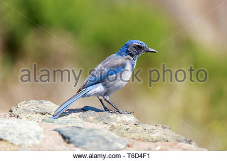 California Scrub-Jay (Aphelocoma californica) Adult perched on a rock. - Stock Photo