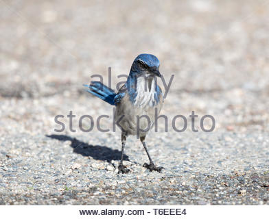 California Scrub-Jay (Aphelocoma californica) adult perched on the ground. - Stock Photo