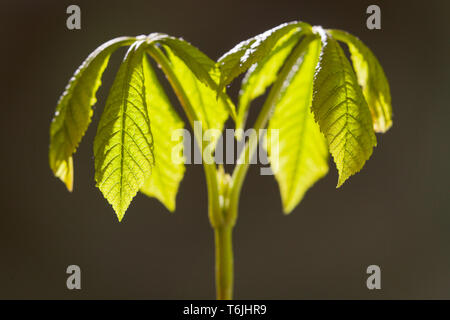 Horse Chestnut tree - Aesculus Hippocastanum -  sapling, grown from a conker. - Stock Photo