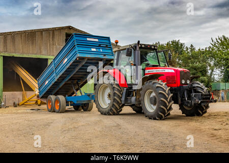 Red Massey Ferguson tractor and blue trailer trailer tipping grain up elevator in to grain store during harvest - Stock Photo