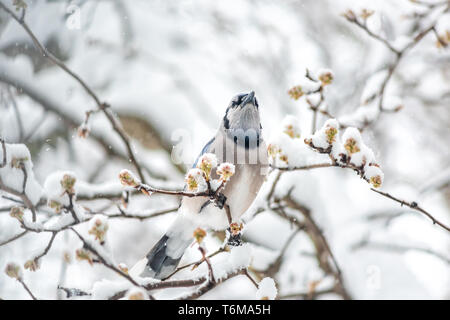 Closeup of blue jay bird Cyanocitta cristata singing perched on tree branch during winter snow in Virginia - Stock Photo