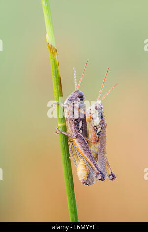 Dew-covered Atlantic Grasshoppers (Paroxya atlantica) mate on a plant stem in the cool air of early morning. - Stock Photo
