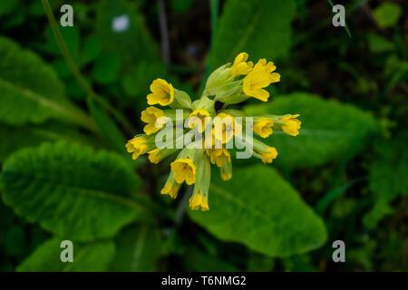 Primula Veris or Cowslip in the garden - Stock Photo