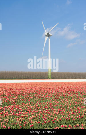 Dutch wind turbine behind a field of red tulips - Stock Photo
