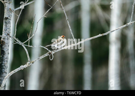 Straight on view of a Common Redpoll (Acanthis flammea) on a branch - Stock Photo