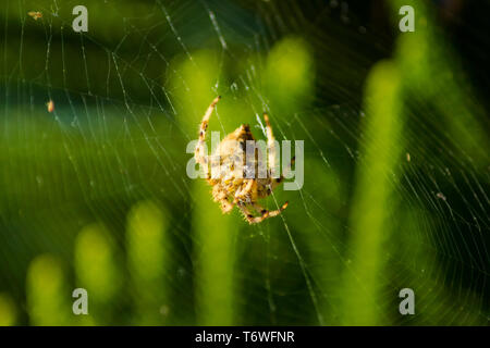 Araneus angulatus Spider on web - Stock Photo