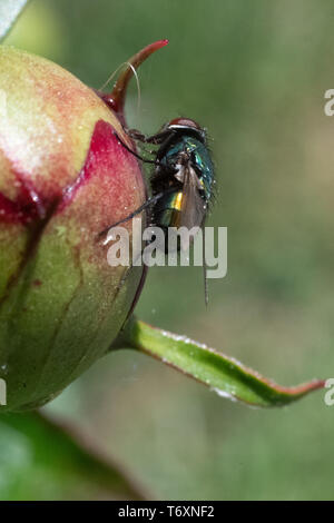 Green bottle fly on Peony flower bud - insect crawling on green paeony bud with magenta color - Stock Photo