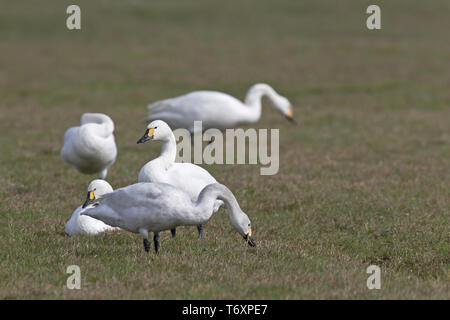 Bewicks Swans / Cygnus bewickii - Stock Photo