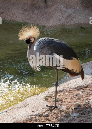 Profile image of a gray crowned crane, vertical image of an African bird - Stock Photo
