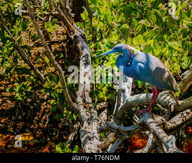A tricolored heron, also known as a Louisiana heron, as seen in the mangrove forests of the Ding Darling Wildlife Refuge on Sanibel Island, Florida - Stock Photo