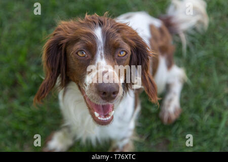 Young, playful springer spaniel excitedly waiting to play fetch on a green lawn. - Stock Photo