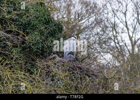 Pair of Grey Herons, Ardea cinerea, nesting in trees, Abington Park, Northampton, UK - Stock Photo